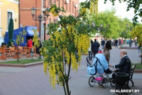 Бобовник в белоруссии