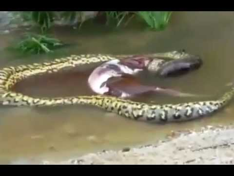 Giant Anaconda snake upchucks entire cow. Змея извергает корову в